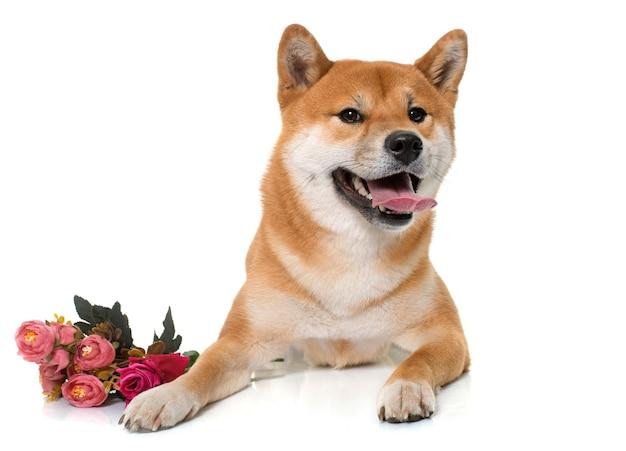 若い柴犬と花