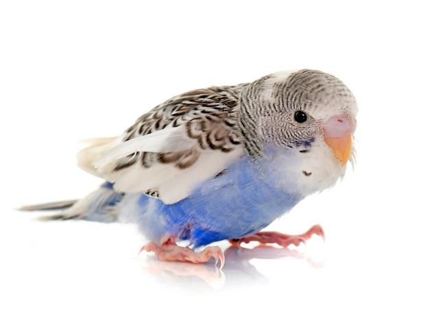 Молодой красочный волнистый попугайчик