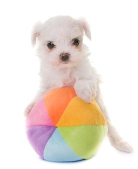 子犬マルタ犬