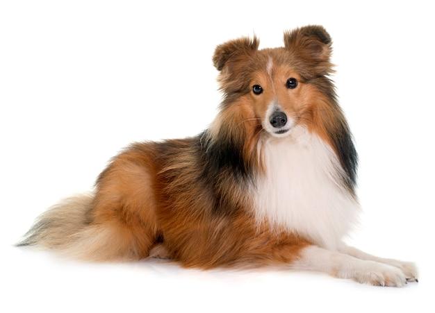 若いシェトランド犬