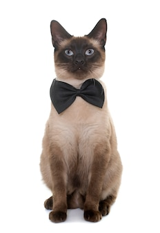 Молодой сиамский кот