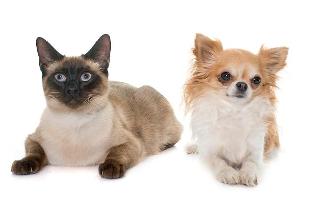 若いシャム猫とチワワ