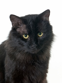 大人の黒い猫