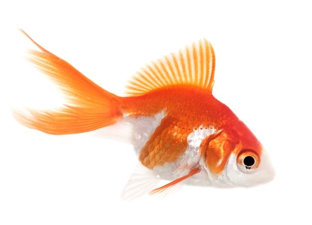 Красная золотая рыбка в аквариуме