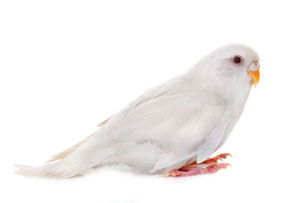 Молодой белый волнистый попугайчик
