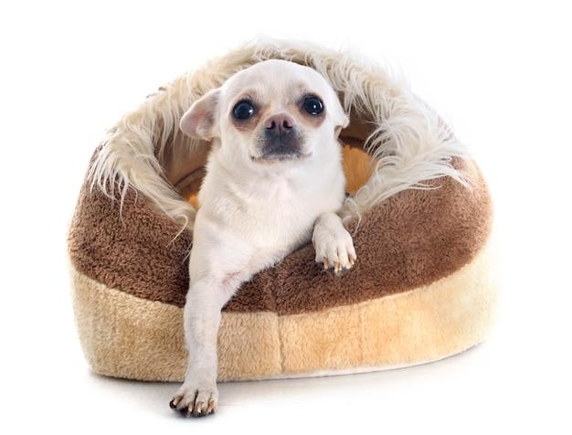 犬のベッドの中のチワワ