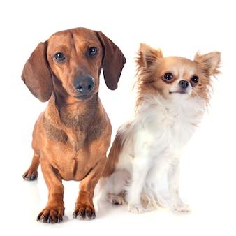 ダックスフント犬とチワワ