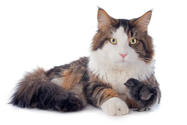メインクーン猫とひよこ