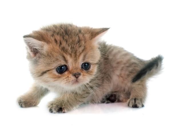 子猫のエキゾチックなショートヘア