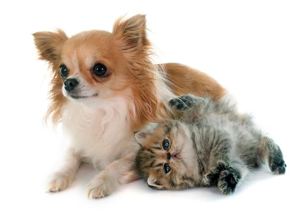 子猫のエキゾチックなショートヘアとチワワ