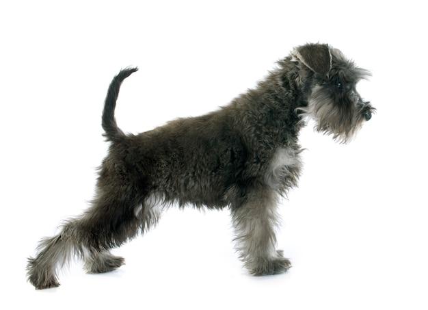 子犬ミニチュアシュナウザー