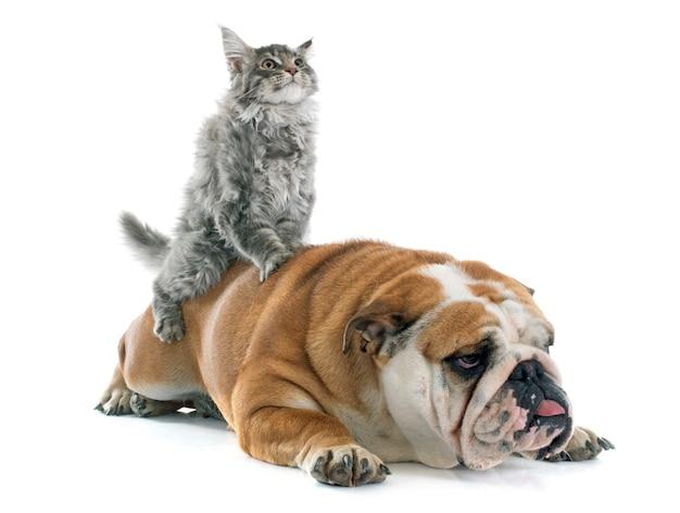 メインクーン子猫と英語ブルドッグ