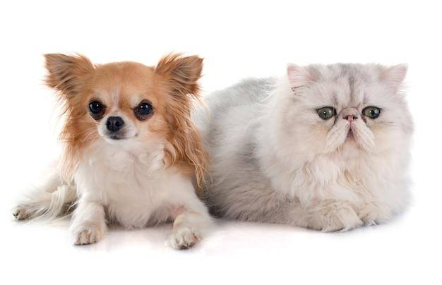 ペルシャ猫とチワワ