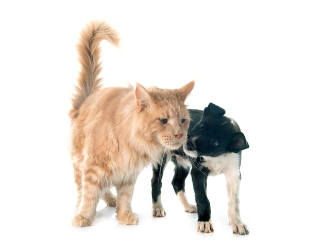 子犬ボーダーコリーとメインクーン