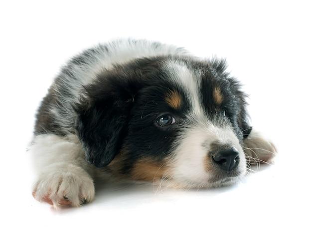 子犬オーストラリアンシェパード
