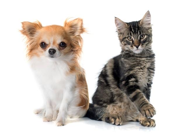メインクーン子猫とチワワ