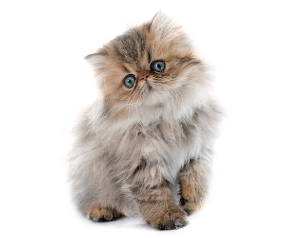 ペルシャ子猫