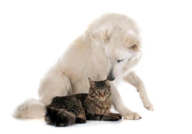 スイス羊飼いと猫