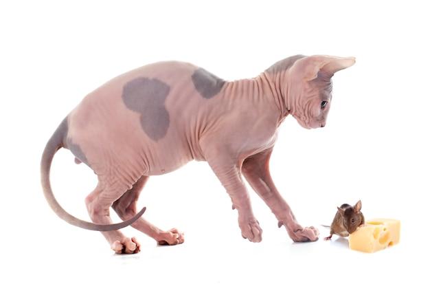 スフィンクス無毛猫とマウス