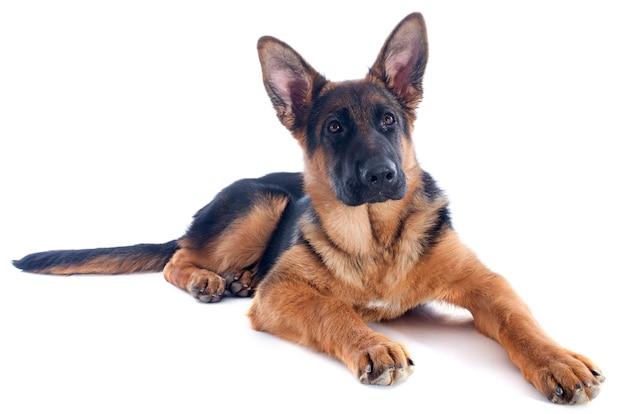 子犬ドイツ羊飼い