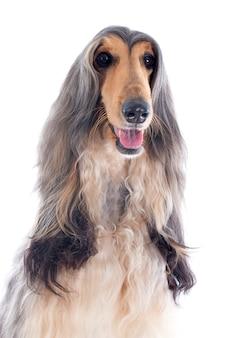 アフガン犬