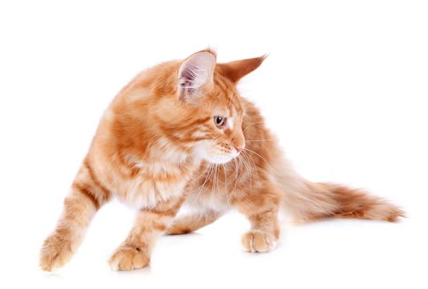 メインクーン子猫