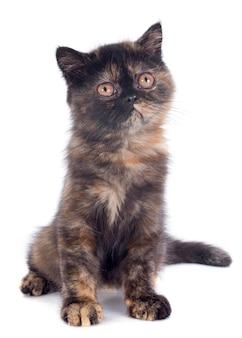 エキゾチックショートヘア子猫
