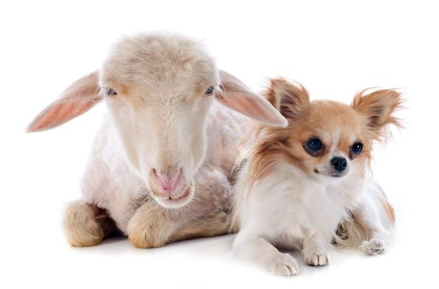 若い子羊とチワワ