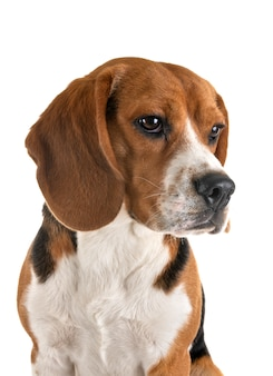 ビーグル犬