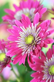 菊の花のクローズアップ