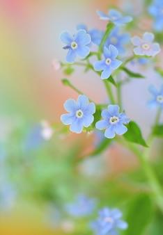 ワスレナグサの花のクローズアップ