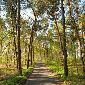 春の松林の狭い足の道