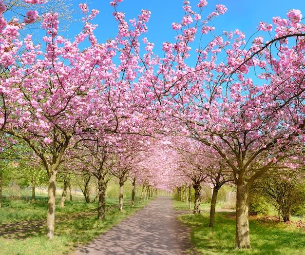 ベルリンの旧壁の道をたどる満開の桜の路地
