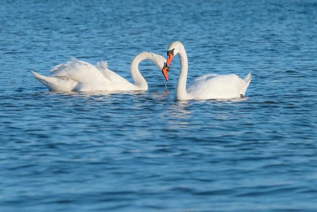 海で泳いでいる白い白鳥のカップル。このショットは、リューゲン島のバルト海で撮影されました