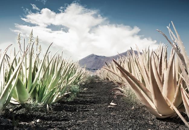 アロエベラ畑
