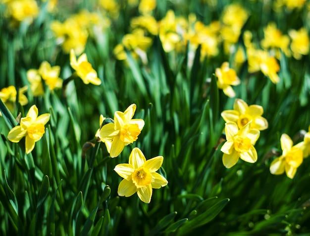 美しい黄色い水仙水仙