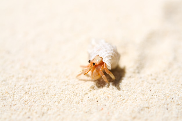 Маленький рак-отшельник на тропическом островном песке