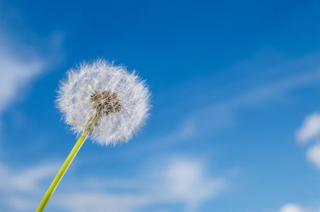 深い青色の空の表面で晴れた日に種子とタンポポの花