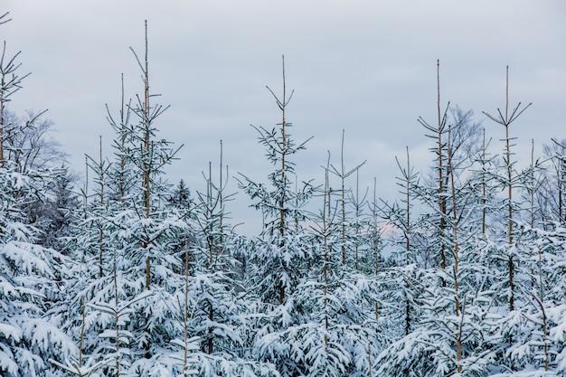 Дикий лес в снегу