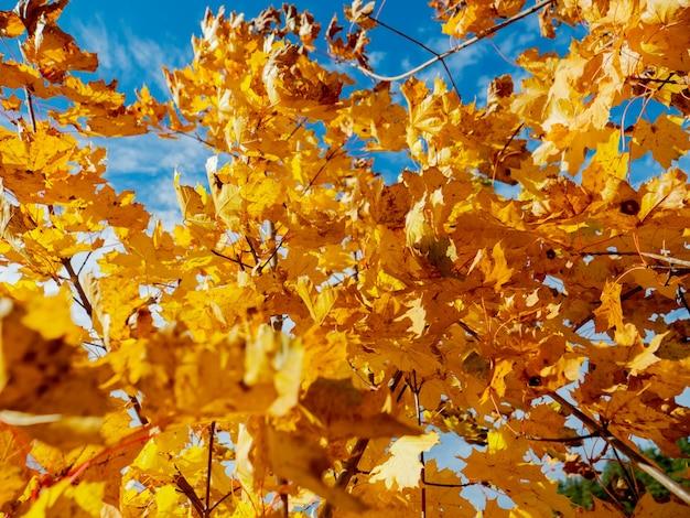 青い空を背景に自然なカエデの葉