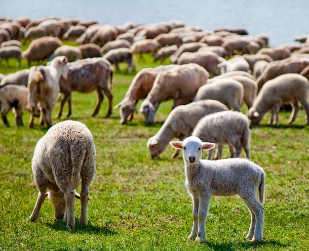 かわいい赤ちゃん羊