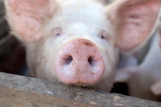 Украинская деревенская свинья.