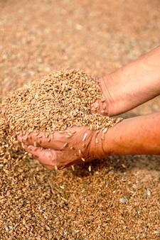 Пшеница и руки старого фермера
