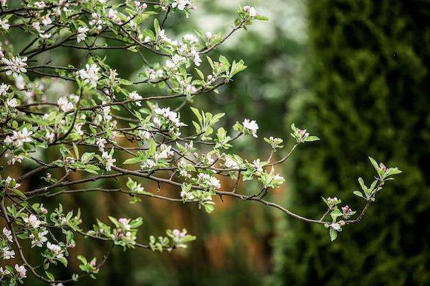 Цветущие цветы яблони в весеннее время