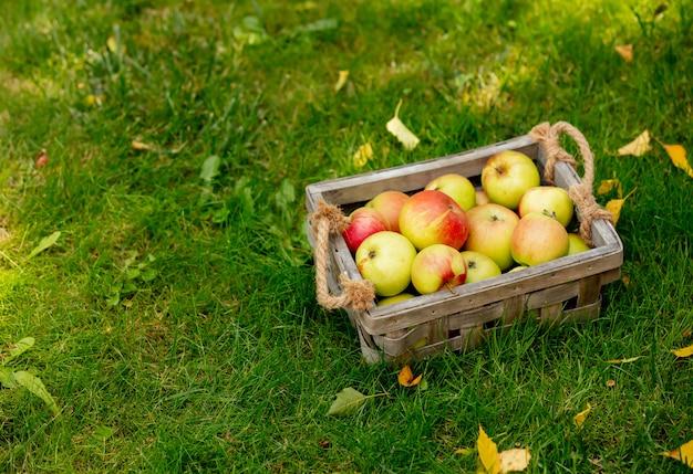 Яблоки в корзине на зеленой траве в саду.