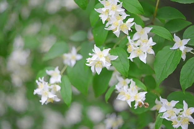 白い夏のジャスミンの花