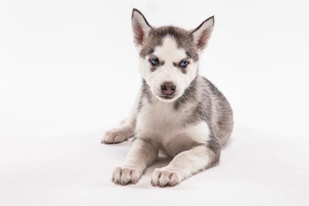 ハスキーの子犬
