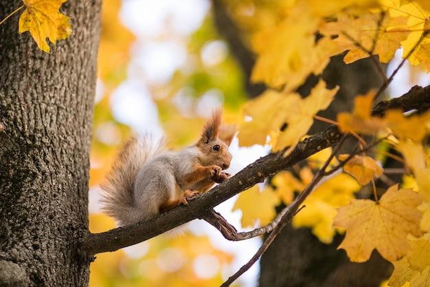 Славная белка с орехом сидит на осеннем дереве в парке