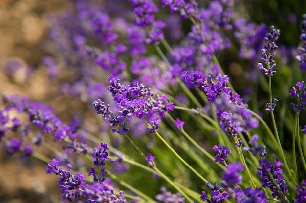 ラベンダーの茂みは夕日にクローズアップ。ラベンダーの紫色の花の上の夕焼け。