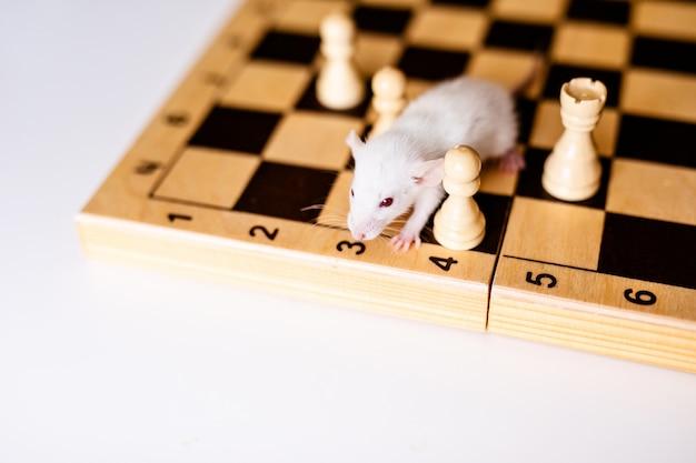 チェス盤の上に大きな耳を持つかわいい小さな白いラット